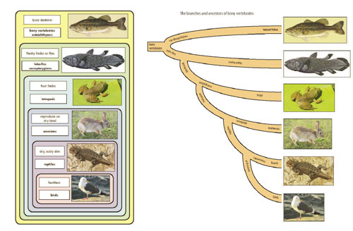Nesting and branching diagrams for the bony vertebrates