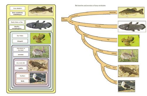 Nesting and branching diagrams for the bony vertebrates