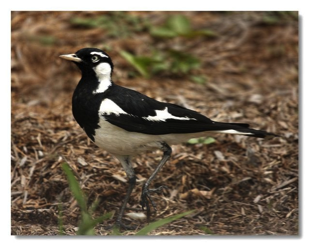 Playful Murray Magpie, Creative Universe